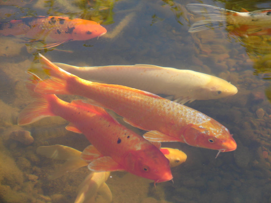 Nishikigoi Koi Carp Fish 6 by