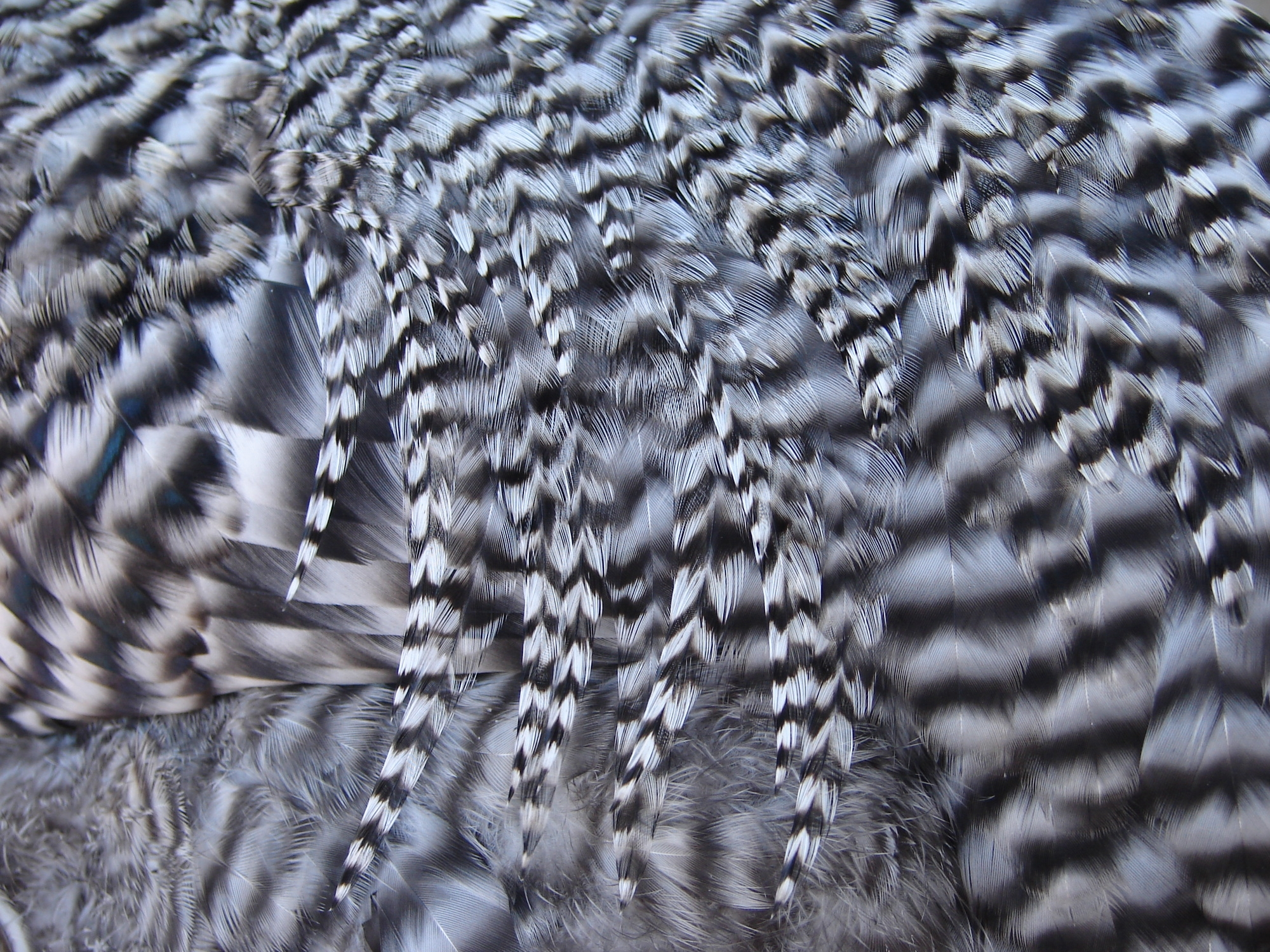 Striped Chicken Feathers by FantasyStock