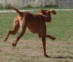 Hungarian Vizsla Dog Running