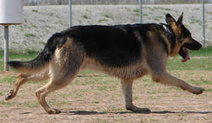 German Shepherd Dog 1