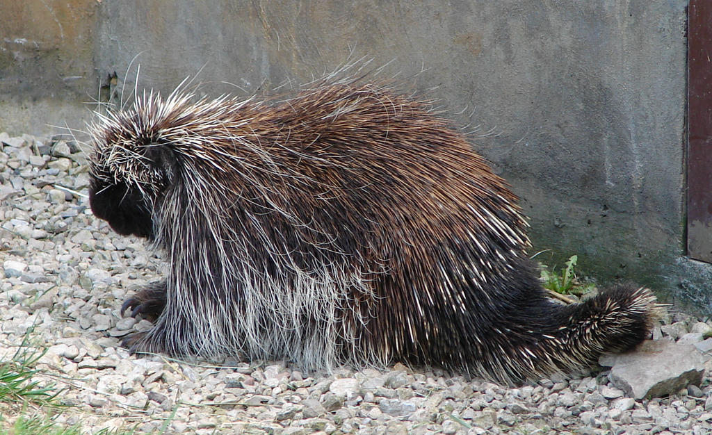 North American Porcupine By Fantasystock On Deviantart
