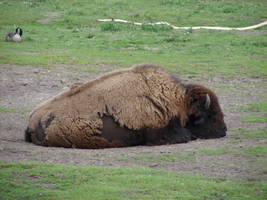 Buffalo by FantasyStock