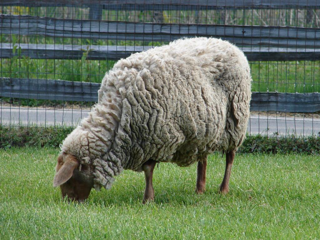Three sheep - photo#19
