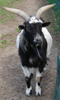 Domestic Horned Goat by FantasyStock