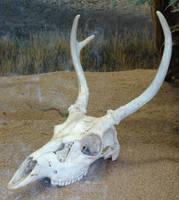 Deer Skull with Antlers 1 by FantasyStock