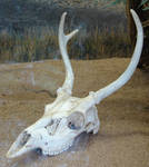Deer Skull with Antlers 1