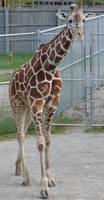 Giraffe at the Zoo 1