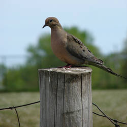 Mourning Dove Perched 1 by FantasyStock