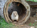Otter in a Hollow Log