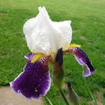 Purple Iris with Raindrops 3
