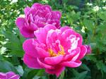 Bright Pink Paeony Flowers 2
