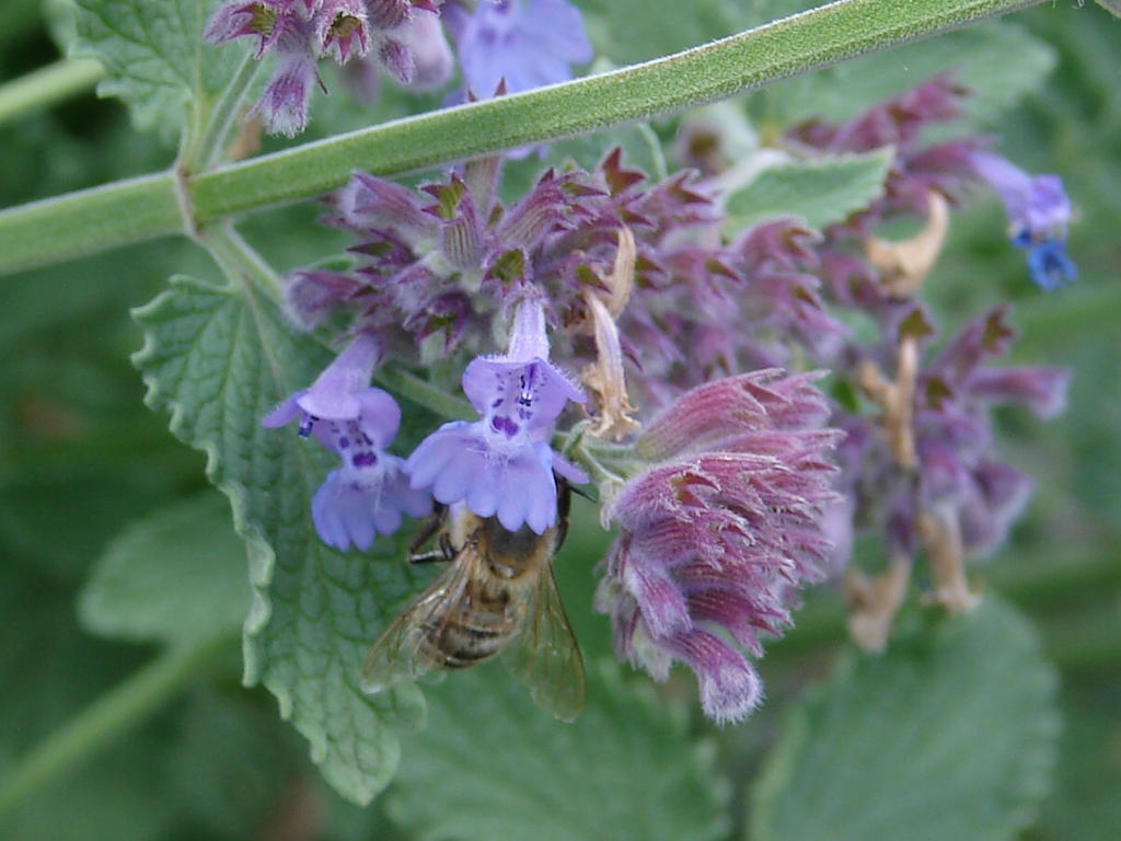 Honey Bee in Purple Catnip 1 by FantasyStock
