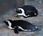 Penguins at the Zoo 2