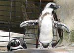 Penguins at the Zoo 3