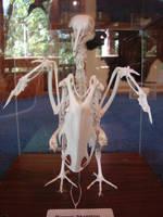 Pigeon Bird Skeleton Bones 1 by FantasyStock