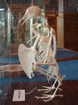 Pigeon Bird Skeleton Bones 2