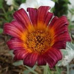 Miscellaneous Red Flower 1