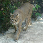 Wildlife Sanctuary Bobcat 1