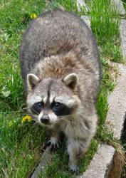 Raccoon with Adorable Eyes by FantasyStock