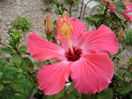 Bright Pink Tropical Flower 1
