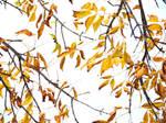 Golden Leaves of Autumn 1