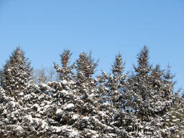 Snow-Covered Pine Trees 1 by FantasyStock