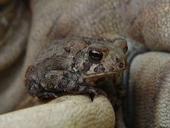 Tiny Toad 7 by FantasyStock