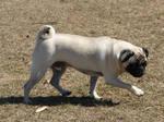 Prancing Little Pug Dog