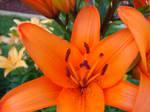 Tiger Lilies 4
