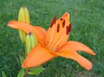 Tiger Lilies 5