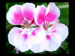 White Pink Flowers
