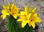 Yellow Lilies 2