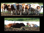 Brown White Dairy Cows