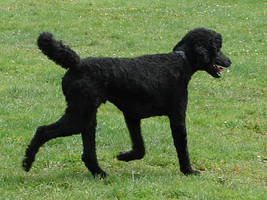 Black Standard Poodle 06 by FantasyStock