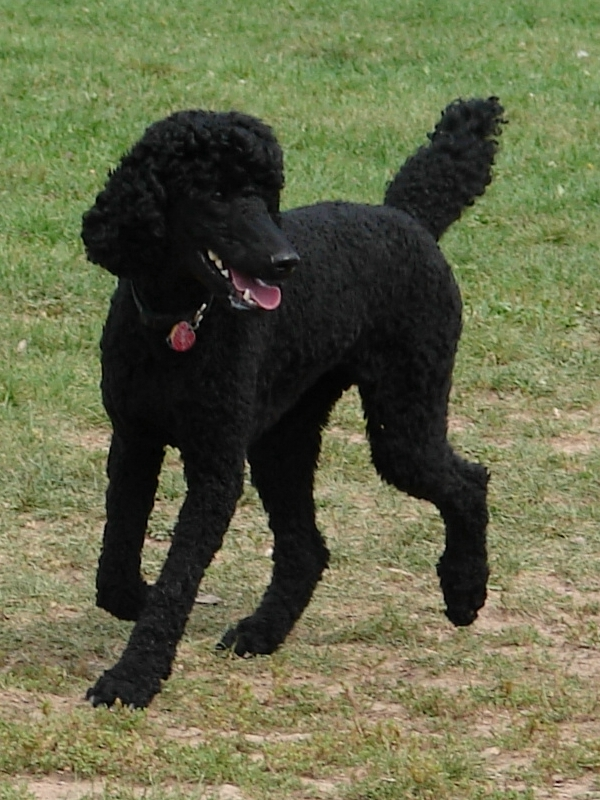 Can I Clip My Own Dog Poodle Mix