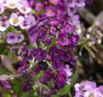 Purple Flowers 3