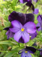 Purple Flowers 4 by FantasyStock