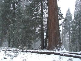 Sequoias in California 1 by FantasyStock