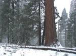 Sequoias in California 1