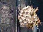 Yellow Jacket Wasps Nesting 5
