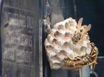 Yellow Jacket Wasps Nesting 6