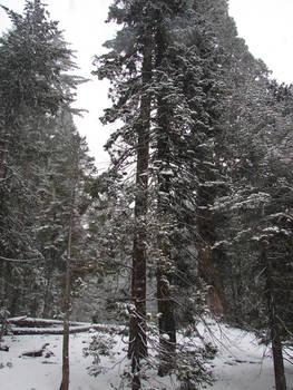 Sequoias in California 5