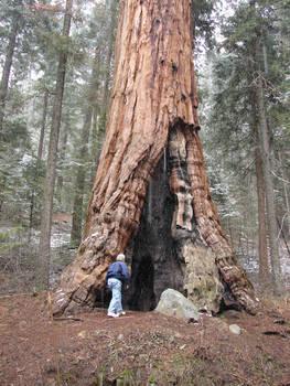 Sequoias in California 6