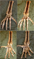 Skeletal Hand Bones + Arm