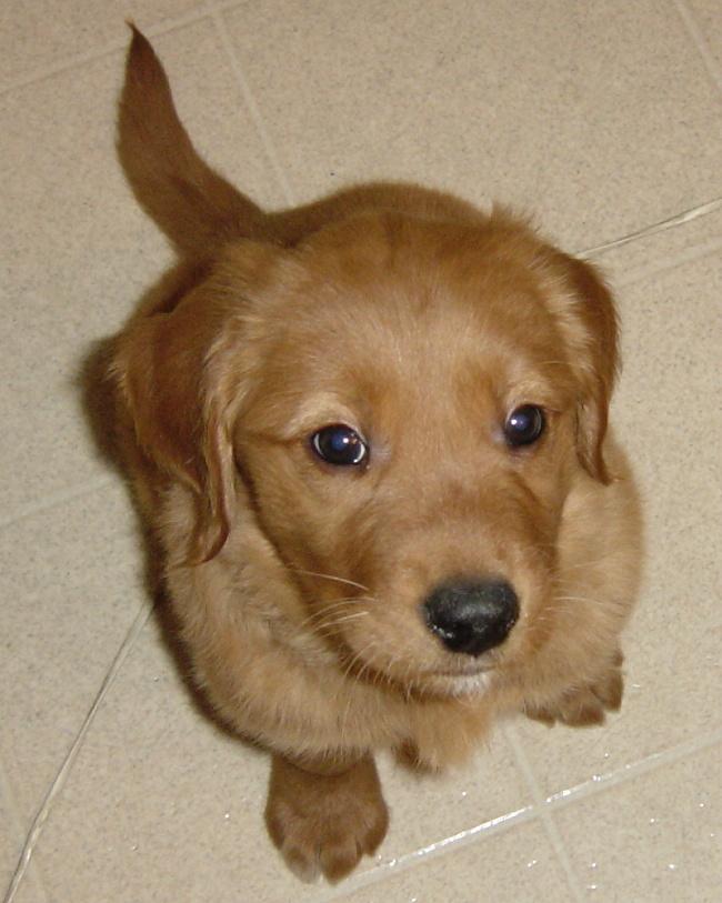 Golden Retriever Puppy Francis By Fantasystock On Deviantart