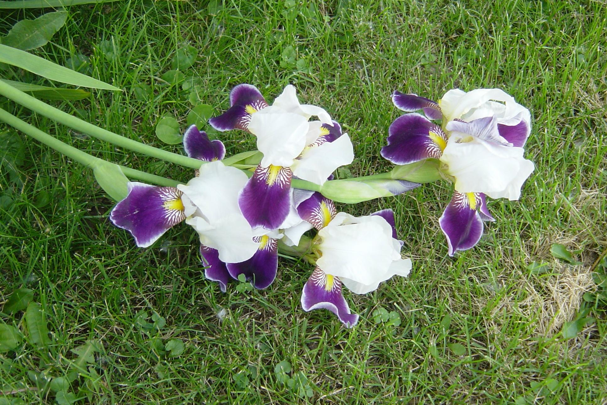 Blooming Purple Irises n Grass