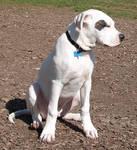 White American Pitbull Puppy