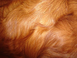 Red Retreiver Dog Fur Texture