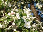 Apple Tree Blossoms 02