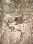 Peeling Tree Bark Texture 01